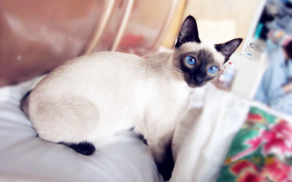电脑壁纸 萌猫壁纸 暹罗猫高清桌面壁纸下载