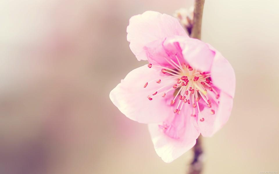 春天盛开的花桌面壁纸