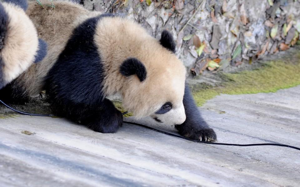 卖萌熊猫高清壁纸 第3页-zol桌面壁纸
