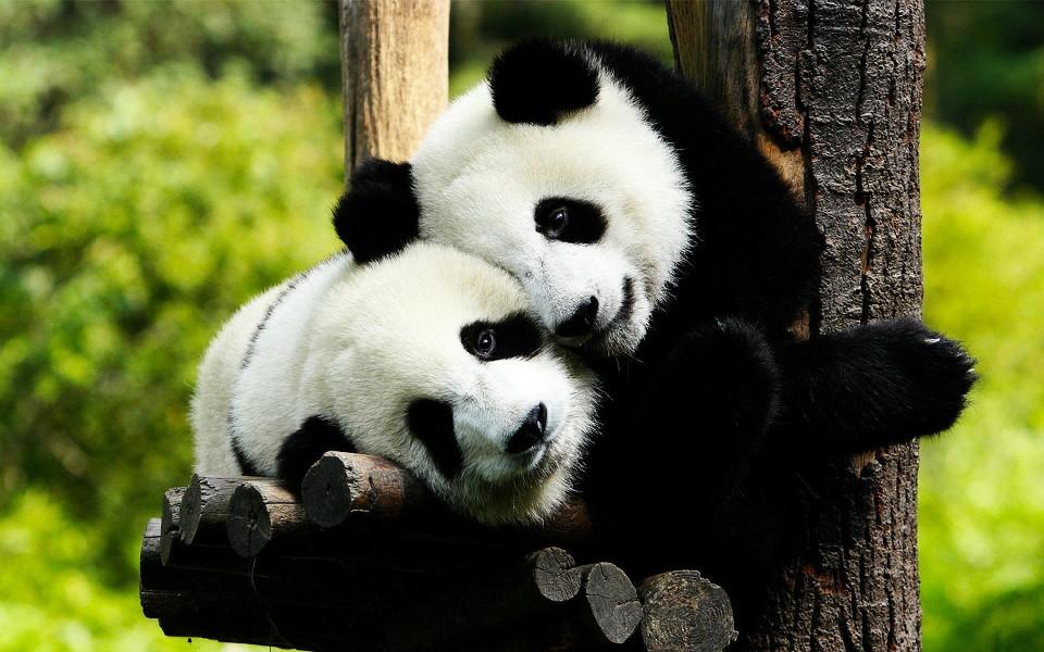 电脑壁纸 动物壁纸 卖萌熊猫高清壁纸下载   (6/9) 小箭头图标亲~快来