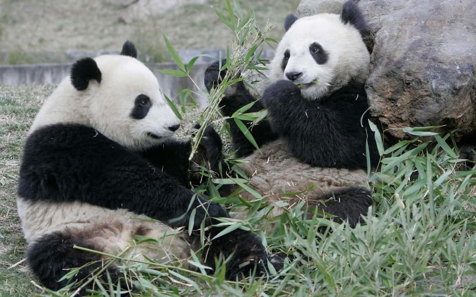 笔记本壁纸 动物壁纸 熊猫高清壁纸精选集下载   (14/32) 小箭头图标