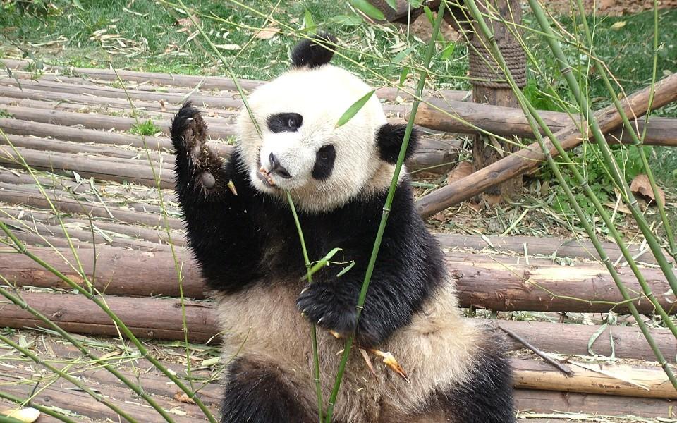 熊猫高清壁纸精选集