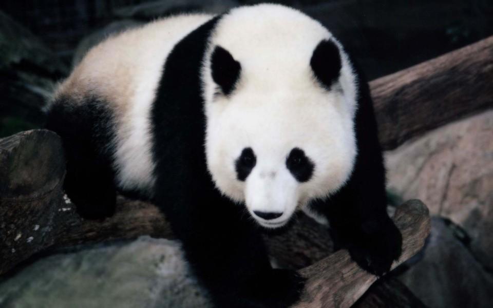 笔记本壁纸 动物壁纸 熊猫高清壁纸精选集下载   (32/32) 小箭头图标