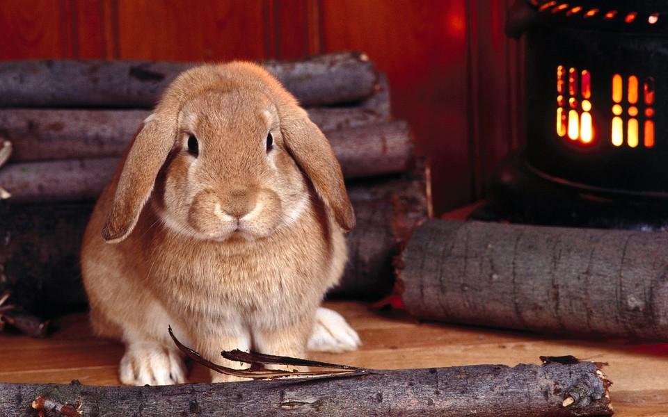 可爱小兔子高清壁纸-zol桌面壁纸