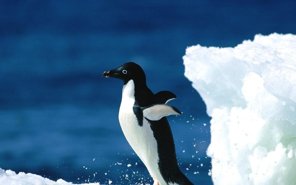 动物壁纸 呆萌企鹅高清壁纸下载