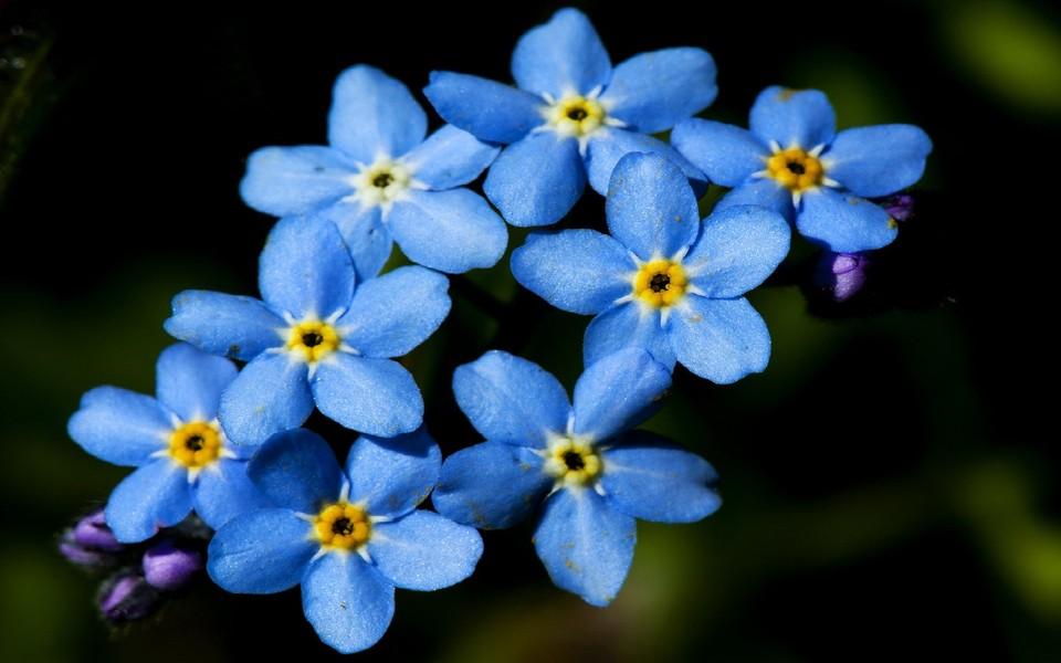 电脑壁纸 植物壁纸 蓝色的小花电脑桌面壁纸下载