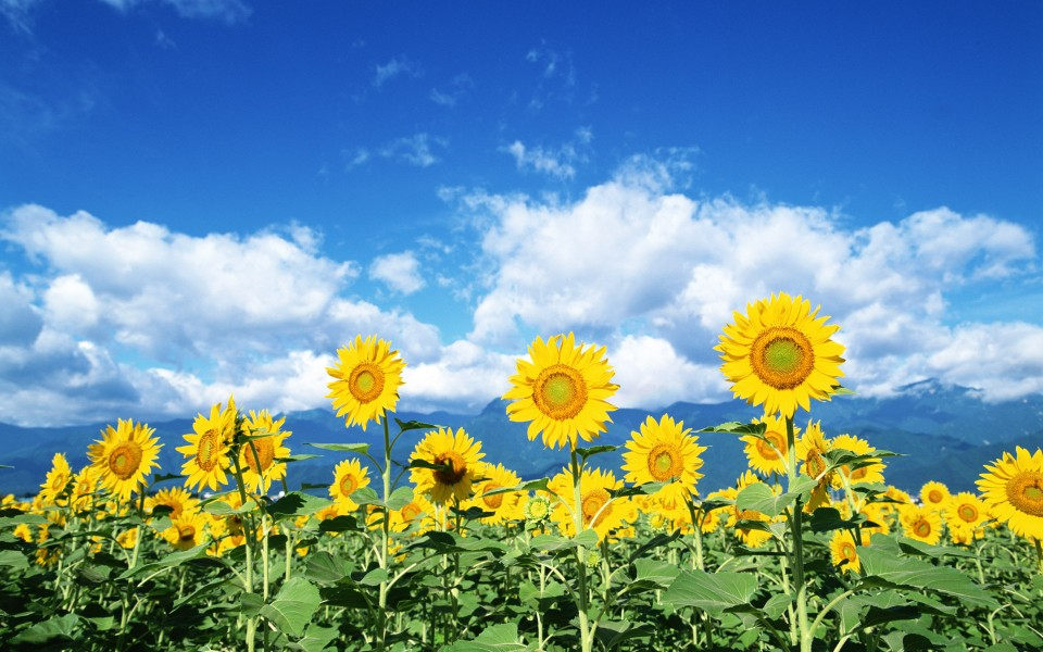 阳光下的向日葵头像图片