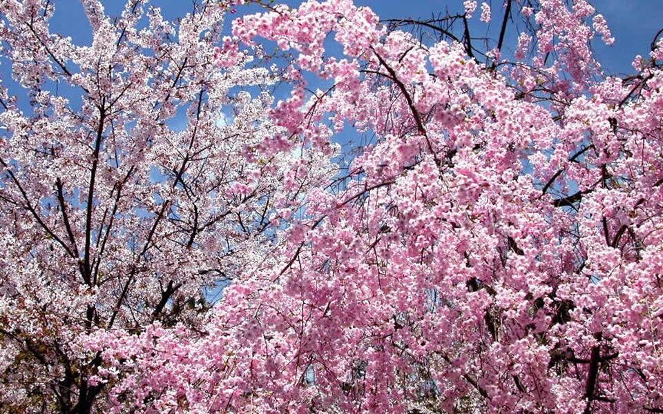春天风景桃花树,图片大全,高清,图库-回车桌面 清香秀丽水仙花,图片