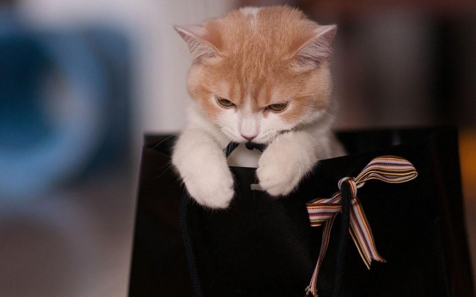 笔记本壁纸 萌猫壁纸 可爱的萌猫猫电脑壁纸下载