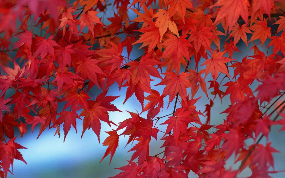 香山红叶电脑桌面壁纸