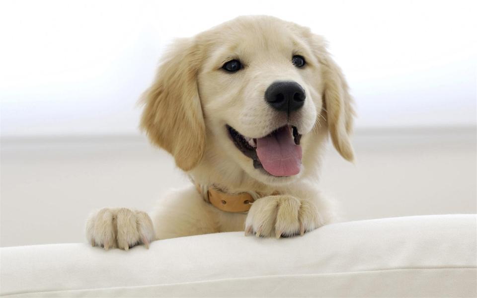 金毛犬高清电脑壁纸