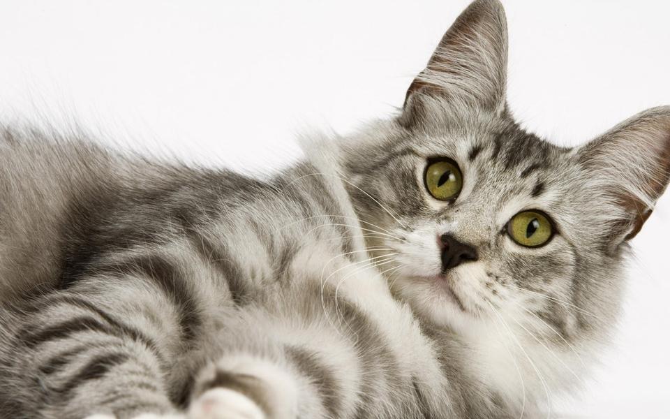 笔记本壁纸 萌猫壁纸 可爱萌猫壁纸图片下载
