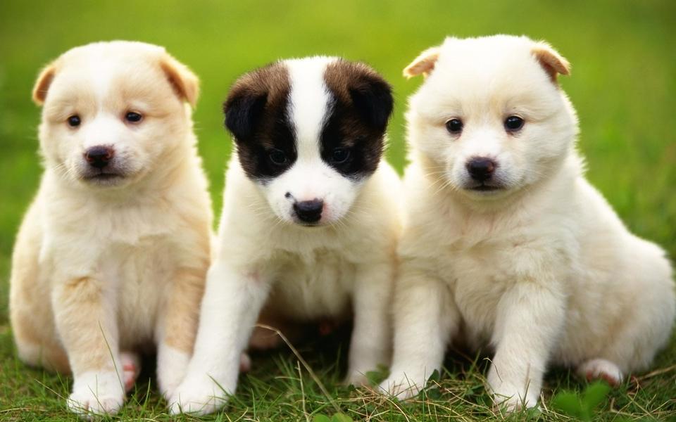 日本最可爱的狗狗