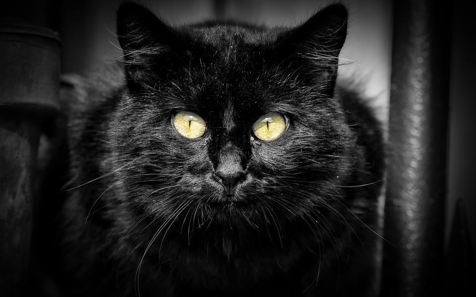 电脑壁纸 萌猫壁纸 黑猫高清电脑壁纸下载