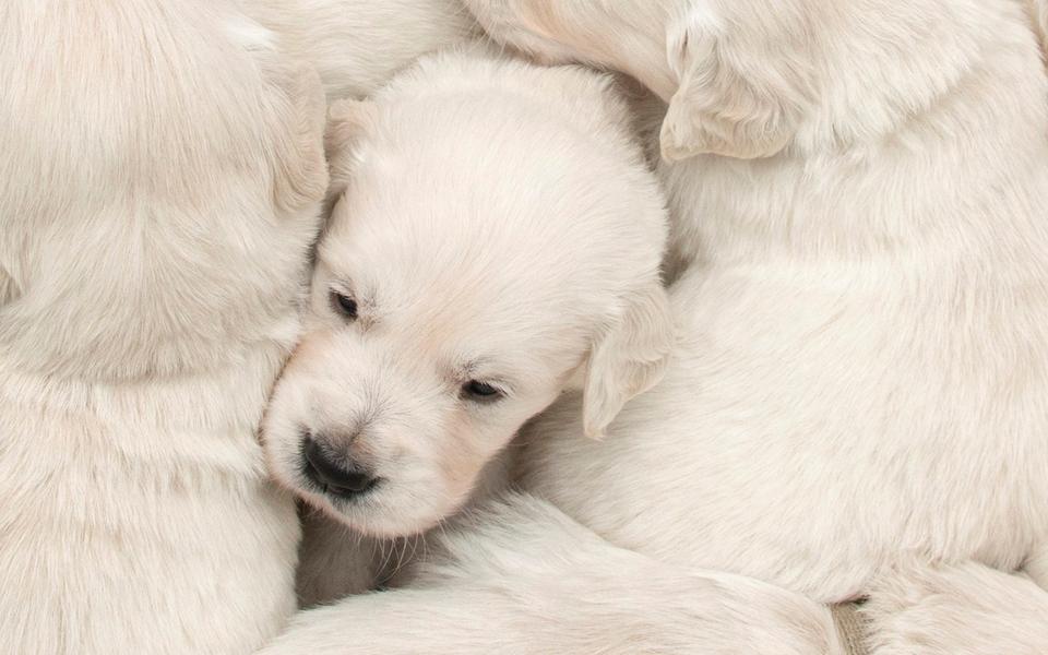 可爱萌犬桌面壁纸下载