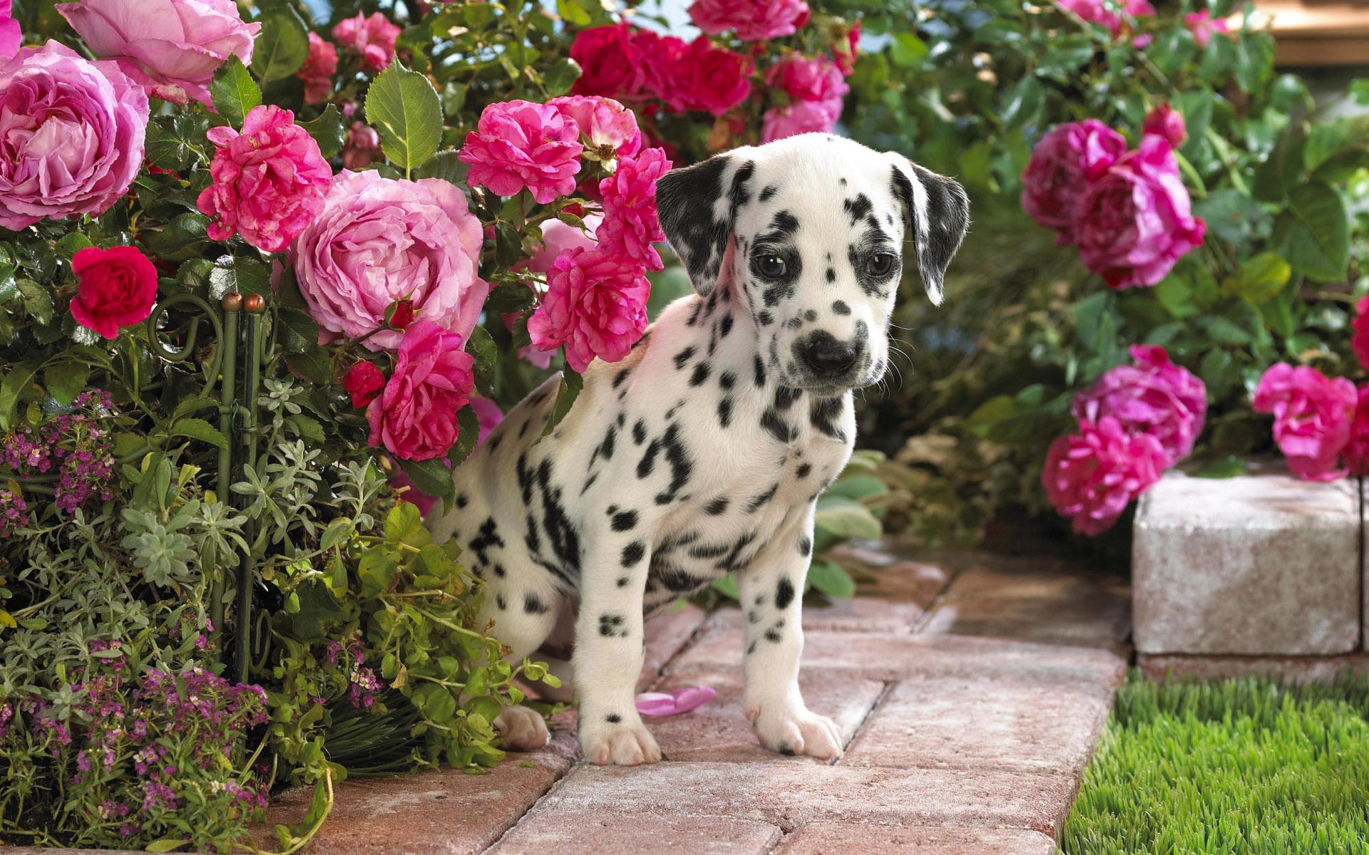 可爱狗狗宽屏 可爱狗狗 36 斑点狗 1366x768图片