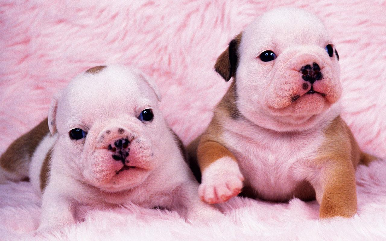 狗动物图片大全可爱-萌小动物图片大全可爱/壁纸图片大全/萨摩耶
