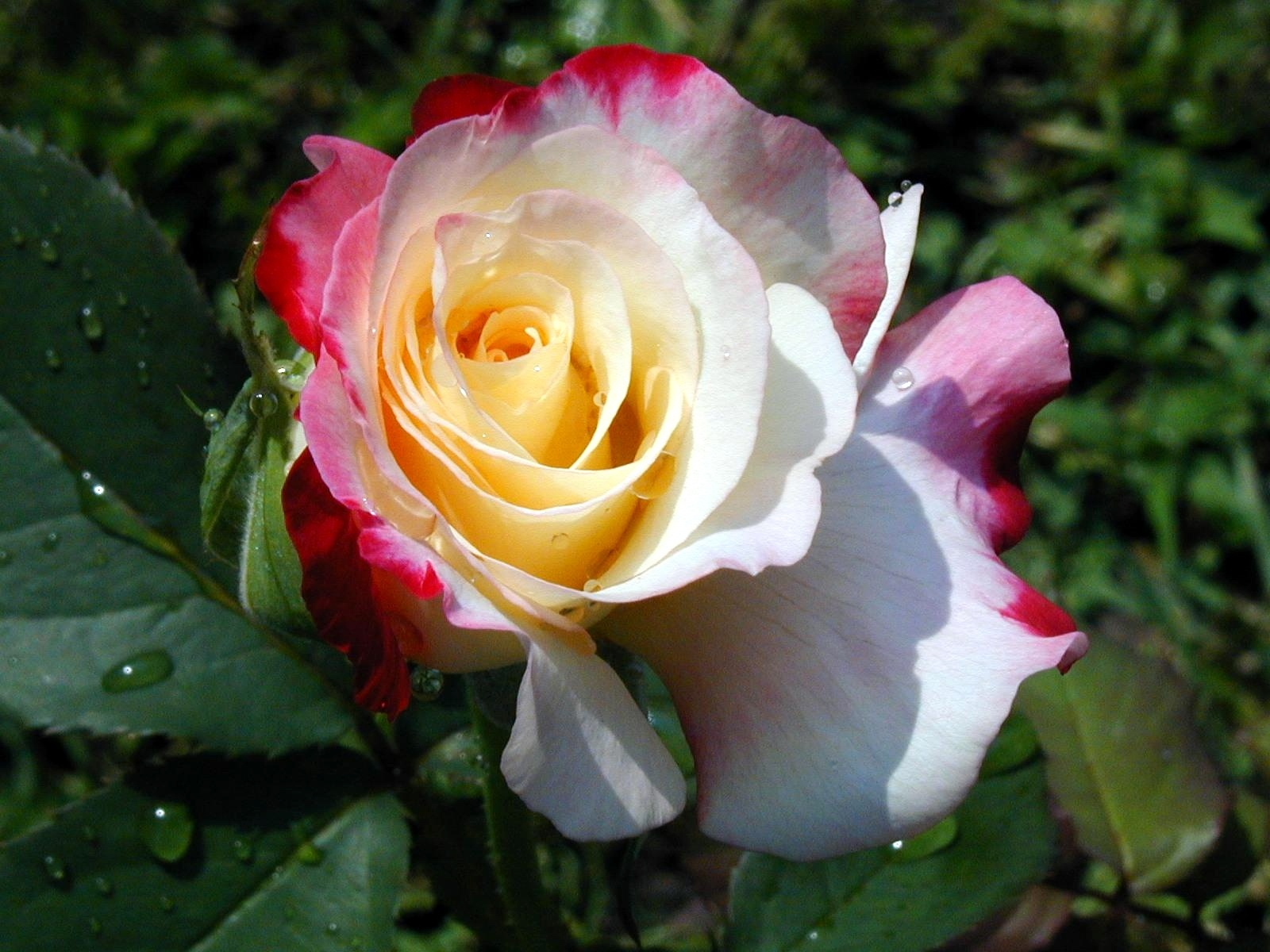高清的玫瑰电脑壁纸图片