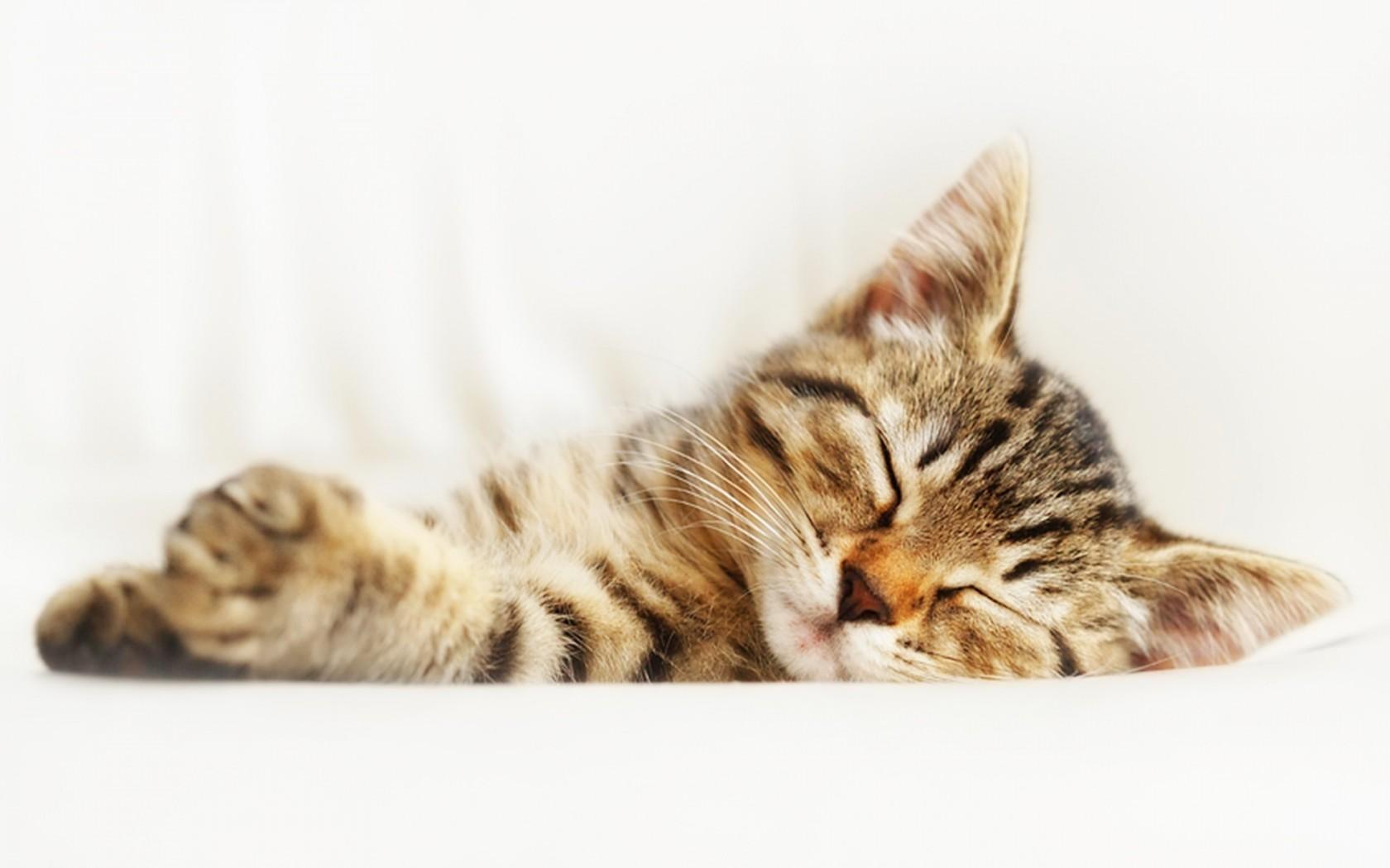 壁纸 动物 猫 猫咪 小猫 桌面 1680_1050