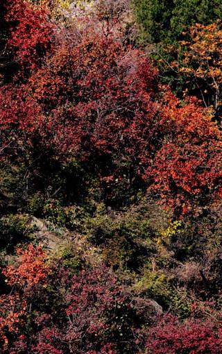 壁纸 枫叶 风景 红枫 树 320_510 竖版 竖屏 手机