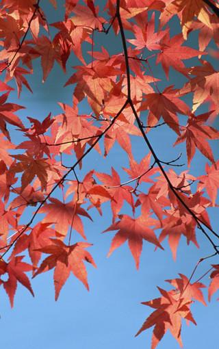 枫树高清手机壁纸