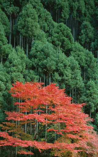 风景壁纸 自然风景壁纸 枫树高清手机壁纸   (10/49)