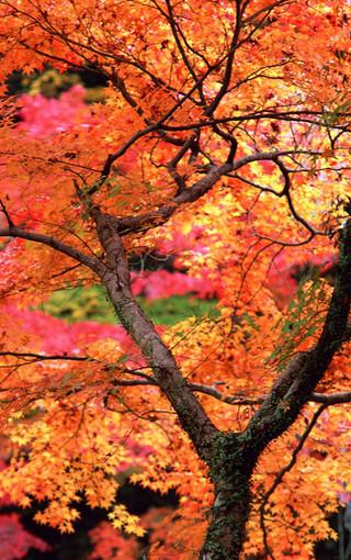 风景壁纸 自然风景壁纸 枫树高清手机壁纸   (4/49)