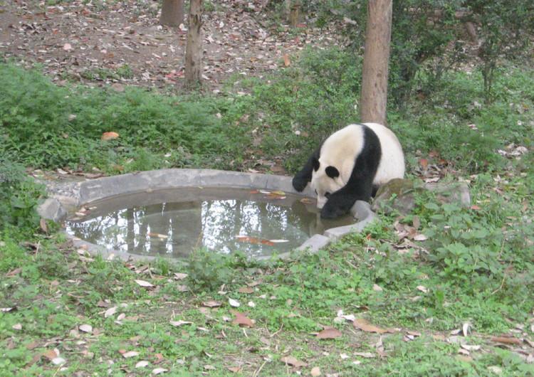 动物壁纸 熊类壁纸 卖萌的熊猫高清手机壁纸欣赏