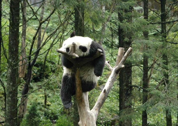 熊猫高清手机壁纸精选