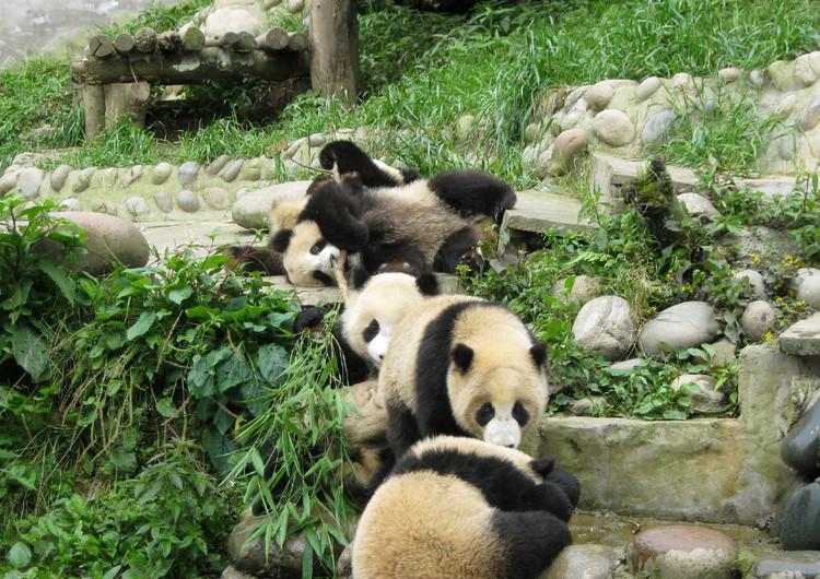 动物壁纸 熊类壁纸 熊猫高清手机壁纸精选