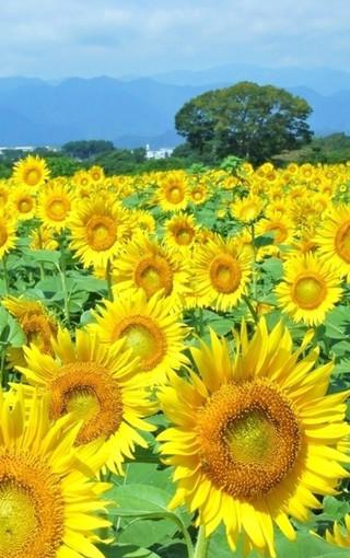向日葵手机壁纸下载 唯美向日葵手机壁纸下载 自然风景壁