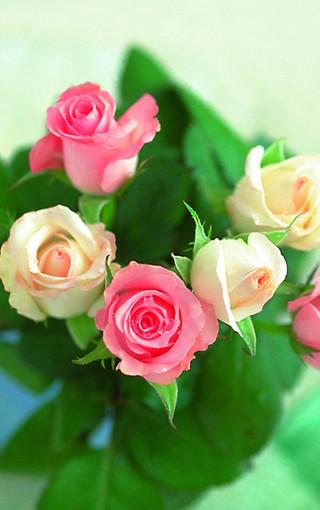 情人节玫瑰花手机壁纸