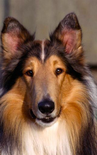 动物壁纸 可爱狗狗手机壁纸下载