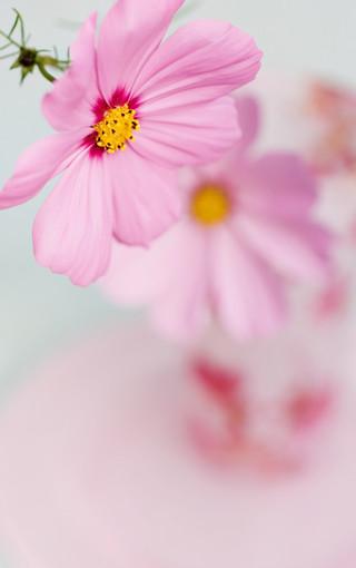 粉紅色的花朵安卓手機壁紙