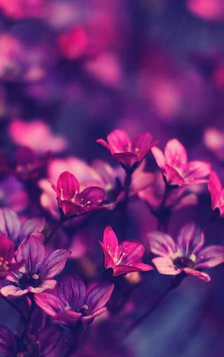 清新红色紫色的小花壁纸 第10页-zol手机壁纸; 【清新红色紫色的小花