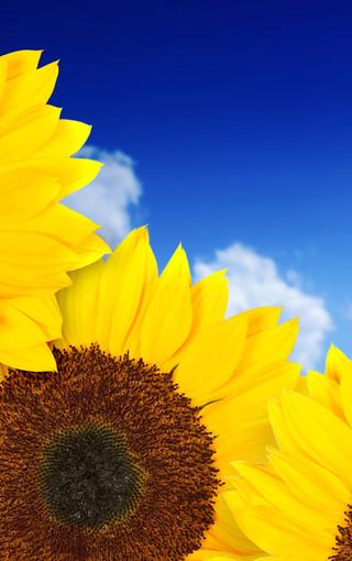 美丽的向日葵手机壁纸