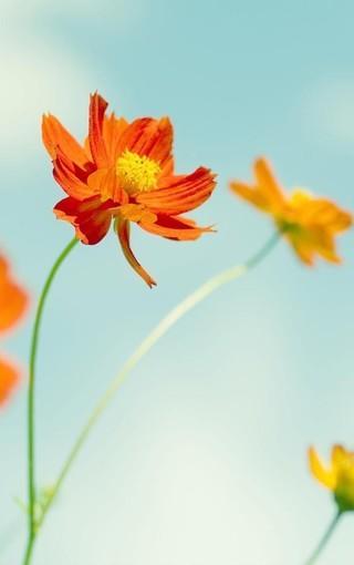 阳光生命唯美鲜花iphone高清壁纸 第8页-zol手机壁纸