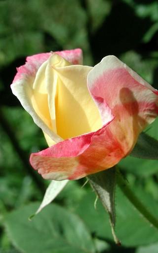 高清的玫瑰手机壁纸