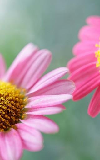 清新的花朵美景手机壁纸