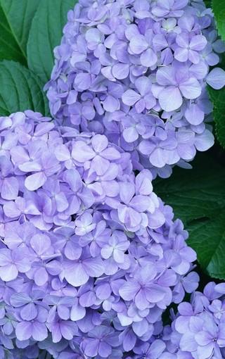 紫色植物手机高清壁纸