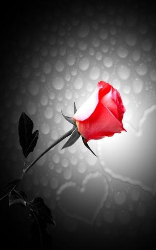 爱情玫瑰壁纸桌面 第7页-zol手机壁纸