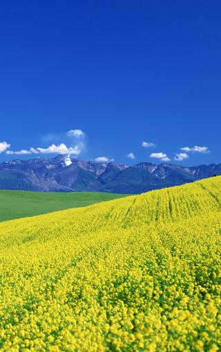 壁纸 草原 成片种植 风景 植物 种植基地 桌面 320_510 竖版 竖屏