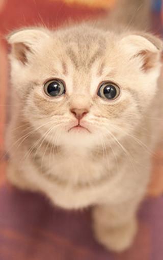 可爱猫咪大图壁纸桌面-zol手机壁纸