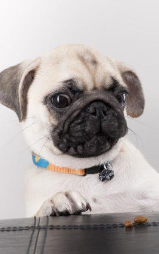 可爱八哥犬大图手机壁纸
