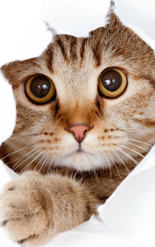 壁纸 动物 猫 猫咪 小猫 桌面 320_510 竖版 竖屏 手机