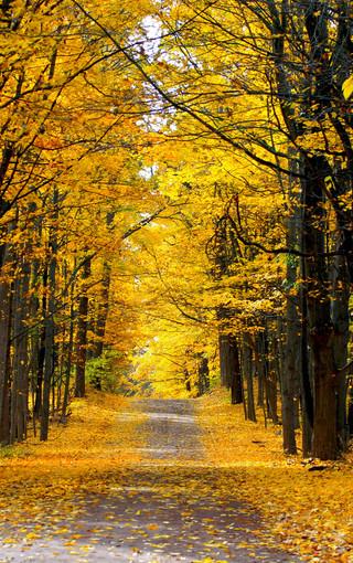 黃葉高清風景壁紙圖片
