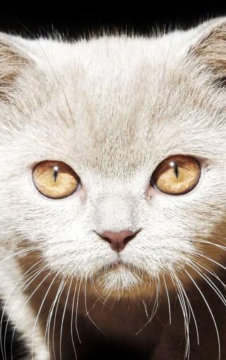 手机萌猫宽屏壁纸桌面