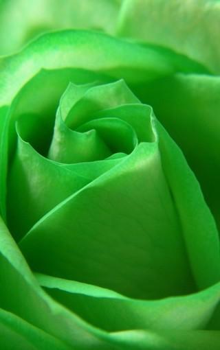 高清玫瑰高清安卓手机壁纸