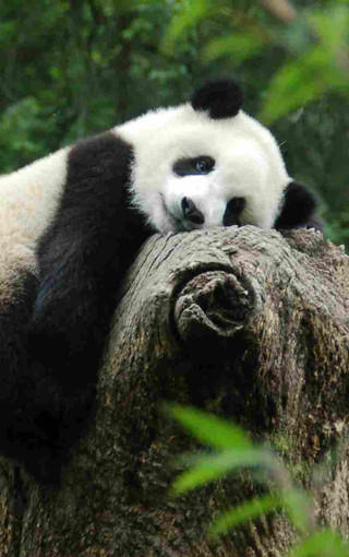 可爱熊猫手机高清壁纸