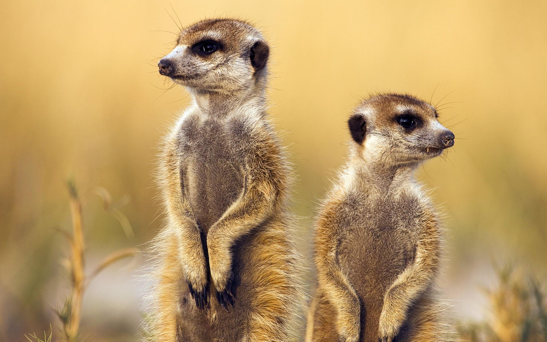 微软官方win8主题《非洲野生动物》
